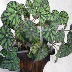 Begonia `Persian Brocade`_4
