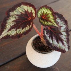 Begonia Helen Lewis_2