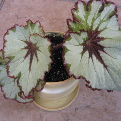 Begonia_Green_Gold