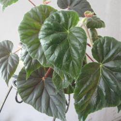 B.metallica