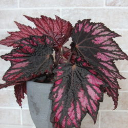 Begonia Helen Teupel_3