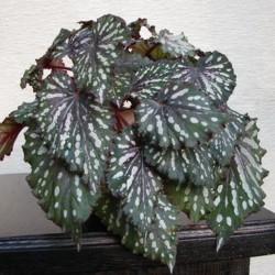 Begonia_Black Annie