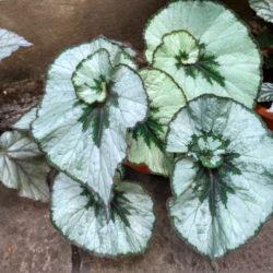 Begonia Namur_2