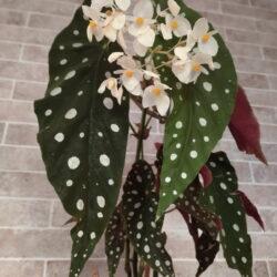 Begonia maculata wightii_2