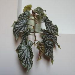 Begonia Tom-Ment_3