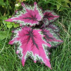 Begonia St.Nick-2