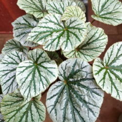 Begonia Abel Carriere_3