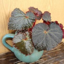 Begonia Midnight Magic_3