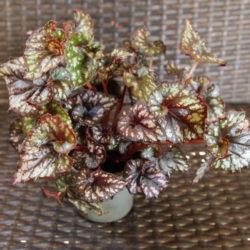 Begonia_Cumbia