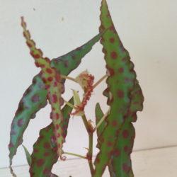 Begonia Amphioxus_1