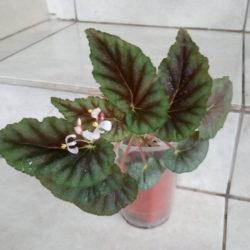 Begonia bartonea_1