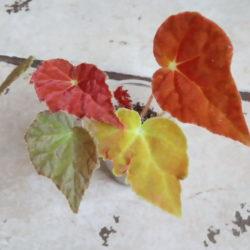 B.Autumn Ember_1