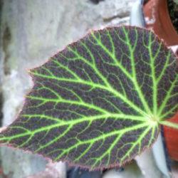 Begonia Chloroneura_1
