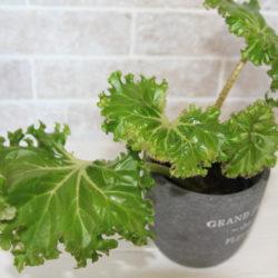 Begonia Crestabruchii