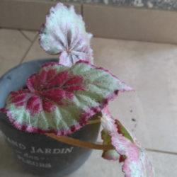 Begonia_Frutta_1
