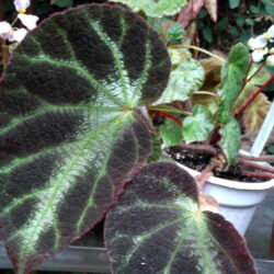 Begonia luochengensis_2