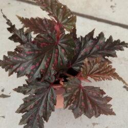 Begonia serratipetala_2