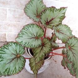 Begonia Chimborazo
