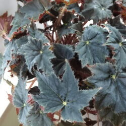 Begonia Black Coffee
