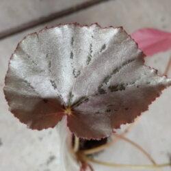 Begonia Martin`s Mystery_1
