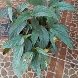 Begonia Hatacoa Silver_1