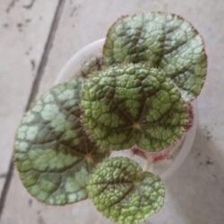 Begonia babeana_2