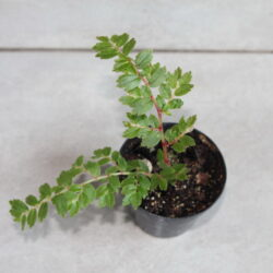 Begonia_foliosa