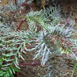 begonia bipinnatifida_1
