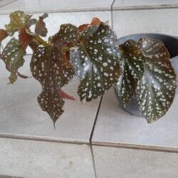 Begonia Mugen_1